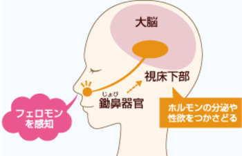 フェロモンを感知する鋤鼻器