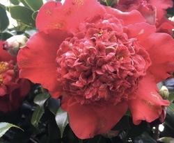 セックスの八重椿に由来する八重椿 (やえつばき)の花
