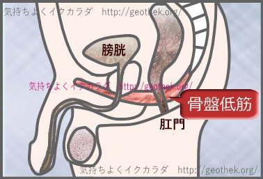 男性の骨盤底筋群