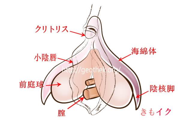 膣からも刺激できるクリトリス