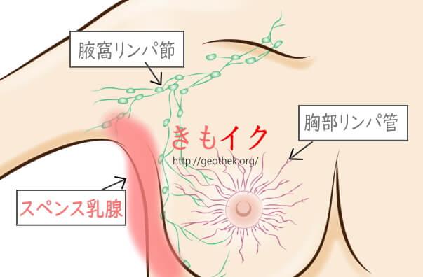 スペンス乳腺が感じり理由の1つ腋窩リンパ節