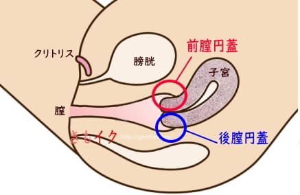 ポルチオ性感帯の前膣円蓋と後膣円蓋